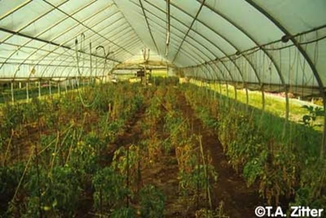 پاورپوینت بررسی فوزاریوم گوجه فرنگی