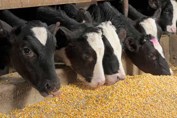 پاورپوینت تغذیه روزانه گوساله